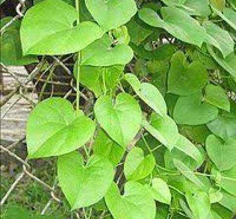 Use Giloy to get rid of all stomach diseases, know about it