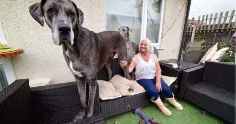 Seven feet tall dog, it is the tallest dog in the whole world