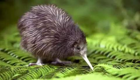This is the national bird of New Zealand, which, despite being a bird, can never fly
