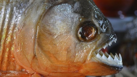 This is the most dangerous fish in the world, which bites you instantly.