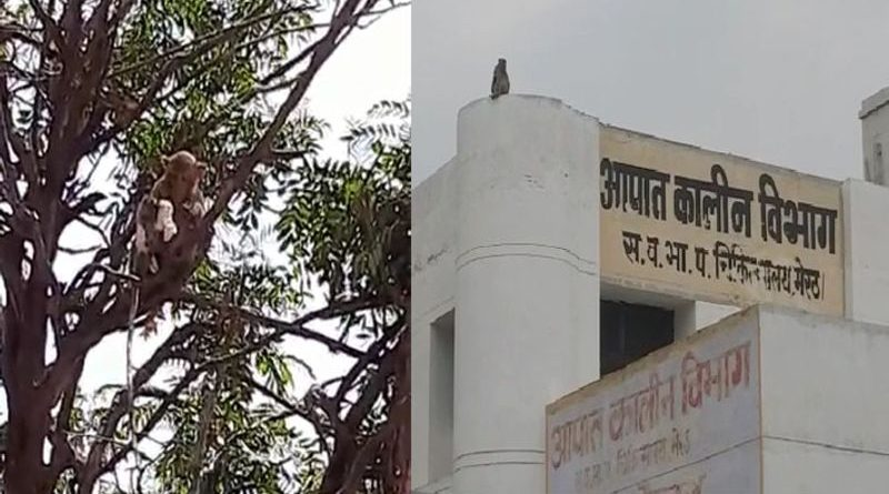 Terror of monkeys at Meerut Medical College, monkey snatched from tree and snatched samples of corona patients