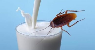 OMG: People living in this country drink milk of cockroaches, know how this feat happens
