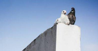 'कबूतर' को 'प्यार' की निशानी क्यों माना जाता है