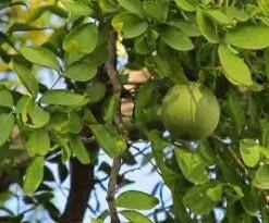बेलपत्र खाने के क्या फायदे हैं? जानिए