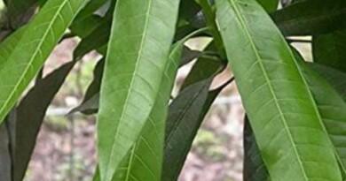 आम की पत्तियों में जबरदस्त ताकत होती है, जो इस बीमारी को जड़ से मिटा देती है, जानिए आप भी