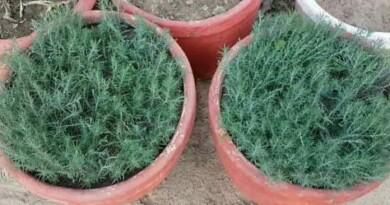 यह पौधा चुंबक की तरह धन को आकर्षित करता है। यह पौधा अंबानी के घर में भी लगाया जाता है, जानिए सच